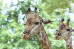 一头长颈鹿的画象与长的脖子和滑稽的头的 库存照片