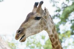一头长颈鹿的画象与长的脖子和滑稽的头的 免版税库存图片