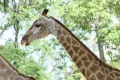 一头长颈鹿的画象与长的脖子和滑稽的头的 图库摄影