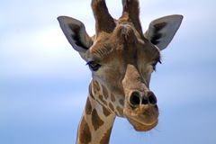 一头长颈鹿的画象反对天空的 免版税库存图片
