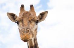 一头长颈鹿的纵向在动物园的 库存图片