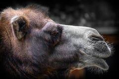 一头阿拉伯骆驼的头的外形 免版税库存照片