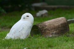 一头雪白猫头鹰在树的棕色树桩旁边坐 库存照片