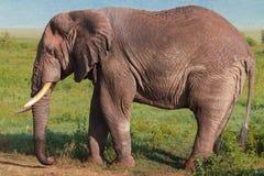 一头非常大非洲大象 Ngorongoro,坦桑尼亚 图库摄影