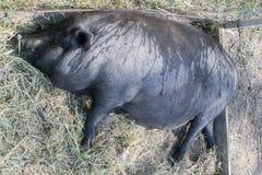 一头非常肥胖猪睡着在街道上 免版税库存照片