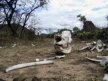 一头非法地被杀死的犀牛的骨头 免版税库存照片