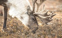 一头驯鹿的画象在蒙古taiga的 库存图片