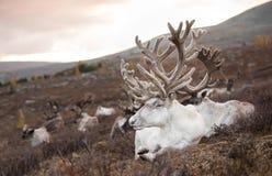 一头驯鹿的画象在蒙古taiga的 库存照片
