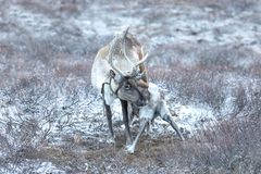 一头驯鹿的画象在蒙古taiga的 免版税图库摄影