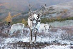 一头驯鹿的画象在蒙古taiga的 免版税库存图片