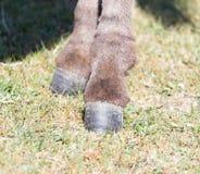 一头驴的蹄本质上 免版税库存图片