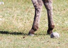 一头驴的蹄本质上 免版税库存照片