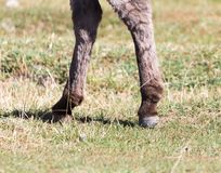 一头驴的蹄本质上 库存图片