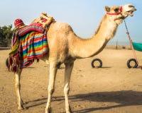 一头骆驼在科威特的沙漠 库存照片