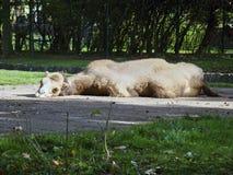 一头骆驼是懒惰的在阳光下 图库摄影