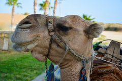 一头骆驼的头在绿洲和沙漠的被弄脏的背景的 图库摄影