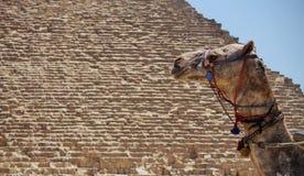 一头骆驼的头在背景的 免版税库存照片