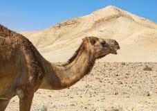 一头骆驼的特写镜头在Judaean沙漠在以色列 免版税库存照片