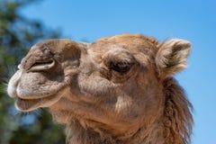 一头骆驼的画象在自然骆驼属dromedarius的 免版税库存照片