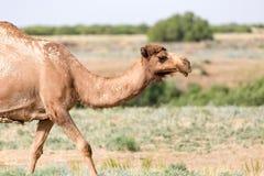 一头骆驼的画象本质上 图库摄影