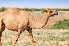 一头骆驼的画象本质上 库存图片