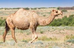一头骆驼的画象本质上 免版税图库摄影