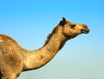 一头骆驼-沙漠的题头在徒步旅行队的 库存照片