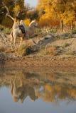 一头骆驼 免版税库存图片
