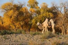 一头骆驼 免版税库存照片