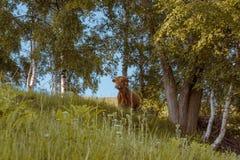一头高地母牛 在观看对照相机的森林里 免版税库存图片