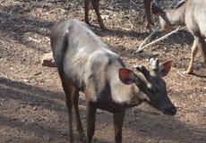 一头鹿在Pilikula Nisargadhama庭院里,芒格洛尔,印度 免版税图库摄影