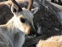 一头鹿的照片在寒带草原 图库摄影