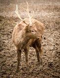 一头鹿的画象在一个动物园里在冬天 库存照片