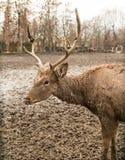 一头鹿的画象在一个动物园里在冬天 免版税库存图片