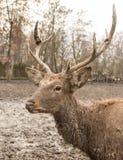 一头鹿的画象在一个动物园里在冬天 免版税库存照片