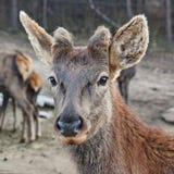 一头鹿 免版税库存照片