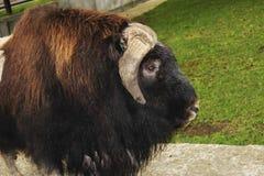 一头麝牛的画象在动物园里 库存照片