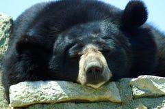 一头黑喜马拉雅熊休息 库存图片