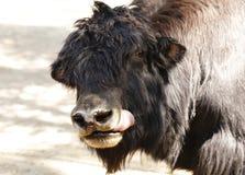 一头黑大公牛牦牛的画象 免版税库存照片