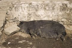 一头黑猪在街道上睡觉 图库摄影