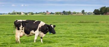 一头黑白母牛的全景在荷兰风景的 免版税库存图片