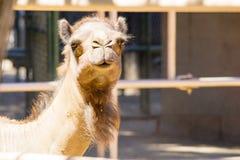 一头Bactrian两个小丘骆驼的画象 骆驼属bactrianus 免版税库存照片