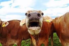 一头mooing的母牛 与开放嘴的滑稽的母牛照片 免版税库存照片