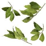 一套干绿色芳香海湾分支照片,隔绝在白色 月桂树枝杈 月桂树eco烹调法busi的海湾收获照片  图库摄影