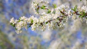 一套樱桃开花的分支录影在春天 股票录像