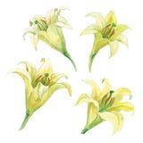 一套百合的花的水彩练习曲 免版税库存图片