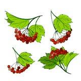 一套荚莲属的植物分支 束用成熟在叶子的秋天红色莓果 库存图片