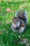 一好奇矮小女性灰鼠吃 免版税库存照片