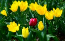 一孤独的红色郁金香,在黄色郁金香中的一个领域 免版税图库摄影