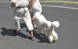 一对年长夫妇走与她的在皮带的白色长卷毛狗 库存照片